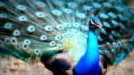 Male Peacock video