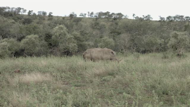 Male rhino showing courtship behavior towards female. video
