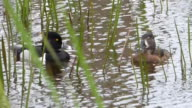 Male Ring Necked Duck Rejecting a Female in a Florida Wetlands video