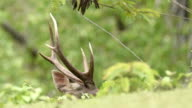 Male Sambar deer(Rusa unicolor ) in the field in nature at Phu Khiew wildlife santuary, Thailand video