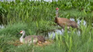 Male Sandhill Crane Overlooks Female and Chicks Bedded in Nest video