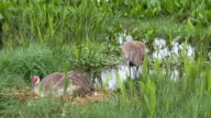 Male Sandhill Crane Rebuilds Nest While Mother Lays With Her Newborn Chicks video