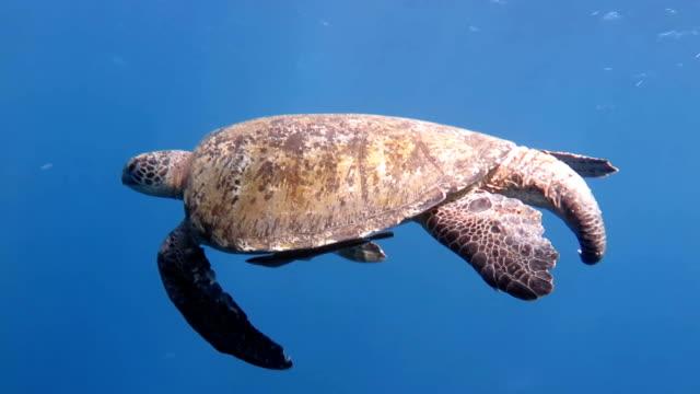Male Sea Turtle video