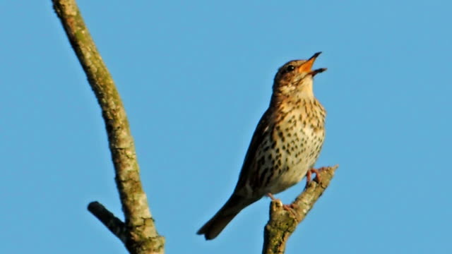 Male Song Thrush Stands on One Leg (Clip 3 of 3) video