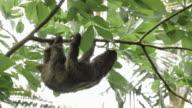 Male three-toed sloth climbing tree 2 video