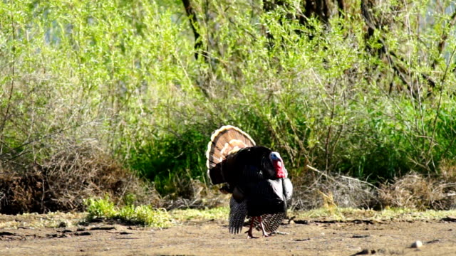 Male Turkey Courting Mating Tall Growth Big Wild Game Bird video
