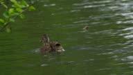mallard duck video