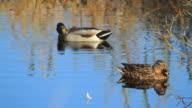 Mallard ducks video