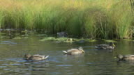 Mallards swimming video