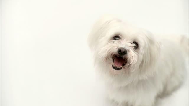 HD: Maltese doggy video