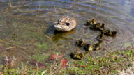 Mamma duck and ducklings HD video