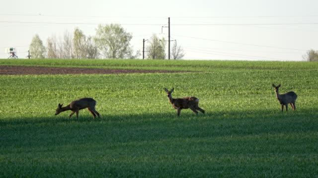 Mammal roe deer group on spring field in morning video