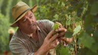 Man checking grape clusters as he cuts them by hand video