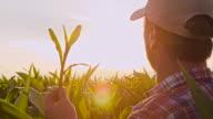MS Man Checking The Corn Plants video