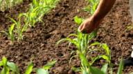Man checks corn crop video