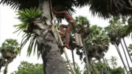 man climbing sugar-palm in Cambodia video