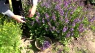 Man collecting flowering sage video