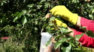 Man collecting rotten pears of the tree video