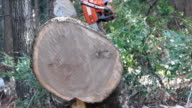 Man cuts round from large oak tree video