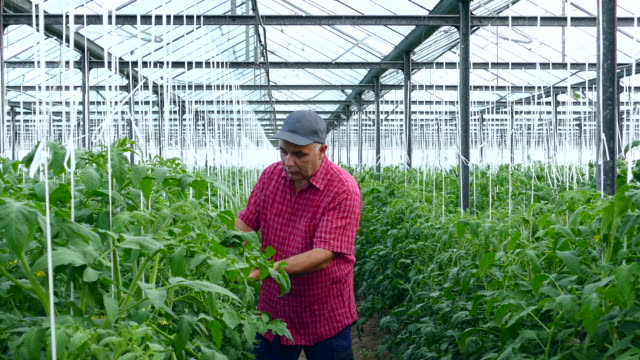 4K Man examining tomato plants in greenhouse video