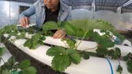 Man farmer working in greenhouse video