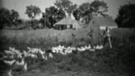 1934: Man feeding big flock of farm birds in rural setting. video