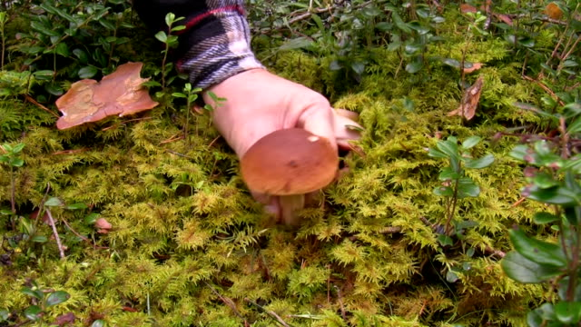 Man found boletus mushroom in the forest video