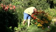 man gather beautiful rudbeckia coneflower in summer garden. video