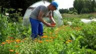 man gather marigold blossom on wicker plate in summer garden. FullHD video