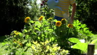 man hands with blue water can tool watering sunflower flower blooms in summertime garden. FullHD video