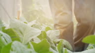 Man harvest organic Chinese kale in the Greenhouse nursery video