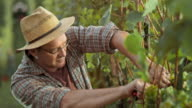 DS Man harvesting grapes by hand in sunny vineyard video