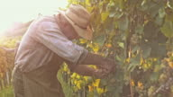 Man harvesting grapes with garden shears at sunset video