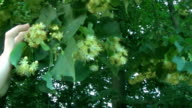 Man herbalist picking linden tree blossoms from flowering lime tree in summer video