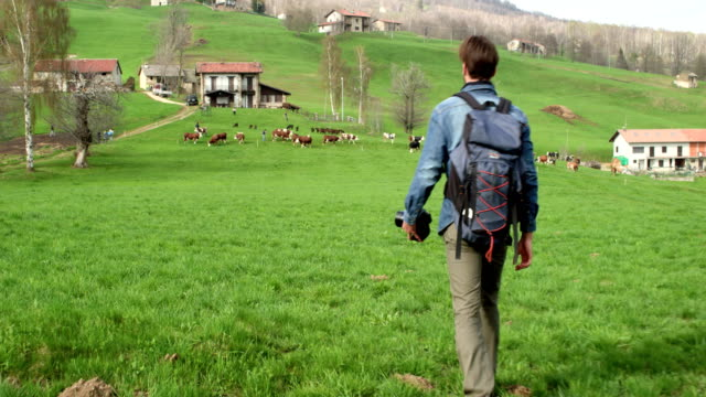 man hiking to cows herd looking for photos. Following behind.Real people Millennial traveller backpacker adult male photographer walking on rural field to shoot photographs in autumn season. 4k video video