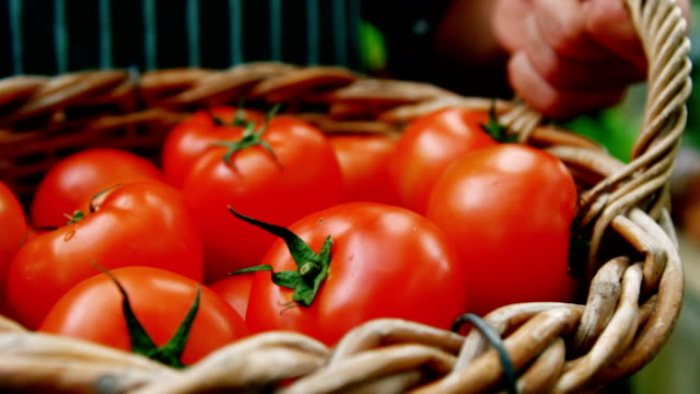 Man holding a basket of freshly harvested tomatoes video