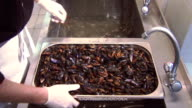 Man in glove put washed cleaned mussels into sink with clean water from colander. Restaurant kitchen video