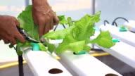 Man is harvest vegetable in hydroponic garden video