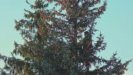 Man is Sawing a Fir Tree with a Chainsaw video