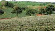 Man is walking along a tea plantation video