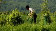 Man on the meadow, harvest time. video