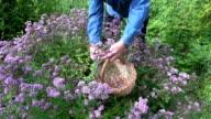 Man picking flowering oregano video