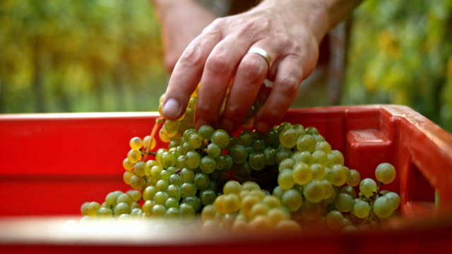 Man placing grape clusters in a red container video