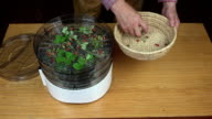 Man placing wild strawberries for drying video