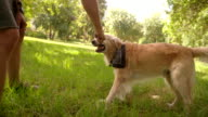 Man playing with labrador dog and stick in park video