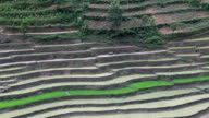 Man plowing terraced paddy using water buffalo to prepare for rice planting video