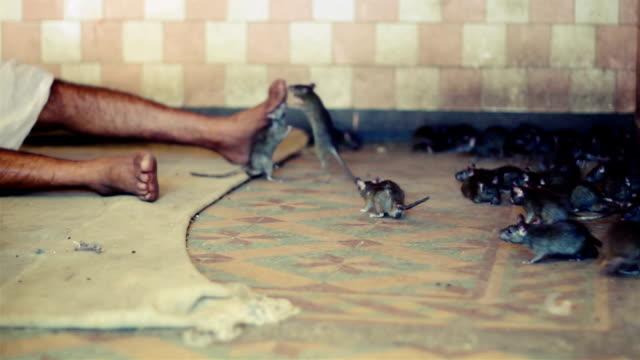 Man sleeping among rats. video
