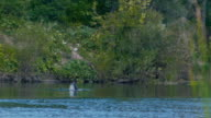Man swimming and spear fishing in the forest river - dives to a depth video