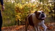 Man Taking British Bulldog For Walk Through Autumn Landscape video