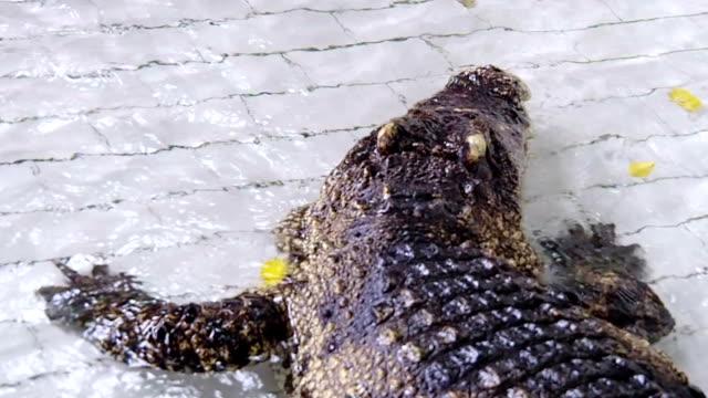 Man Teasing Big Black Crocodile video